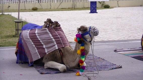 camel-parking-only